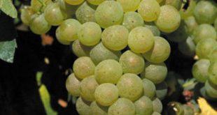 borszőlőfajták
